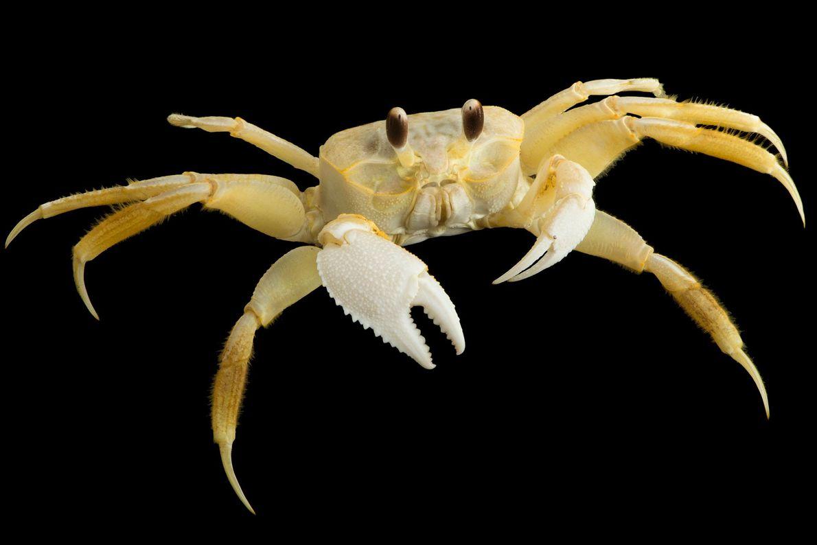 Papa-defunto (Ocypode quadrata) Um caranguejo-fantasma do Atlântico no Laboratório Marinho de Gulf Specimen.