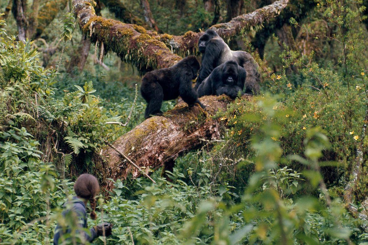 Cada família gorila possuía um número de registro para fins de pesquisa. Aqui, a vigilante Fossey ...