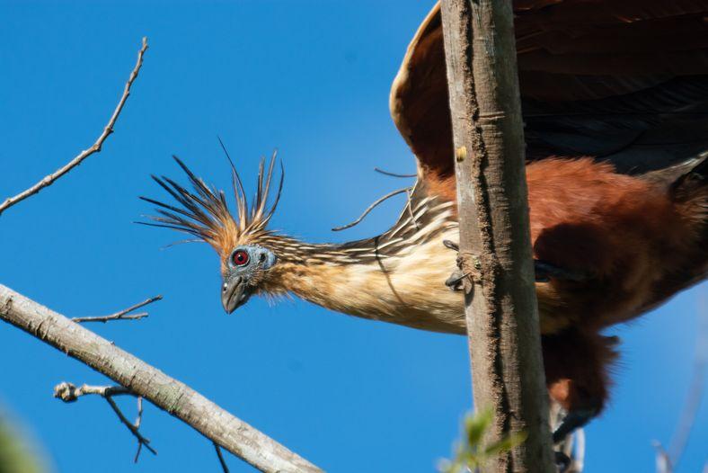 A cigana (Ophisthocomus hoazin) é um símbolo do ambiente fluvial, que influenciou a própria evolução da ...