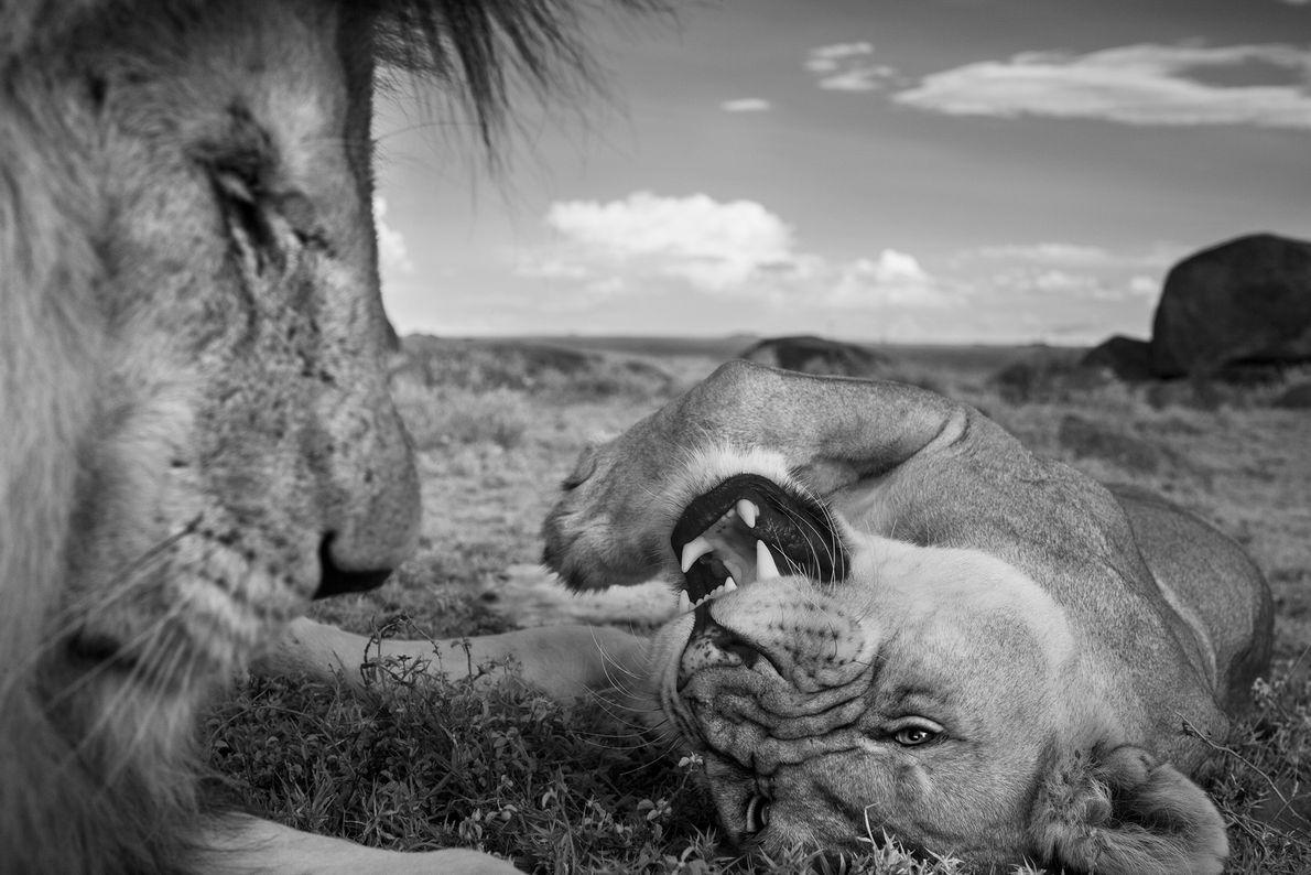 Um leão adulto uma fêmea relaxam entre os acasalamentos.