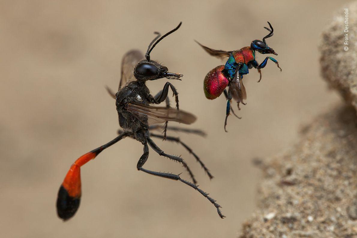 A fotografia tirada por Frank Deschandol de duas vespas prestes a entrar no ninho ganhou o ...