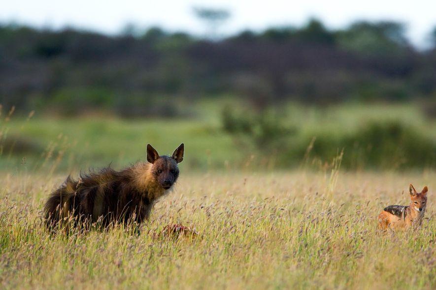 Uma hiena-castanha se alimenta de uma carcaça no Santuário de Rinocerontes Khama em Botsuana.