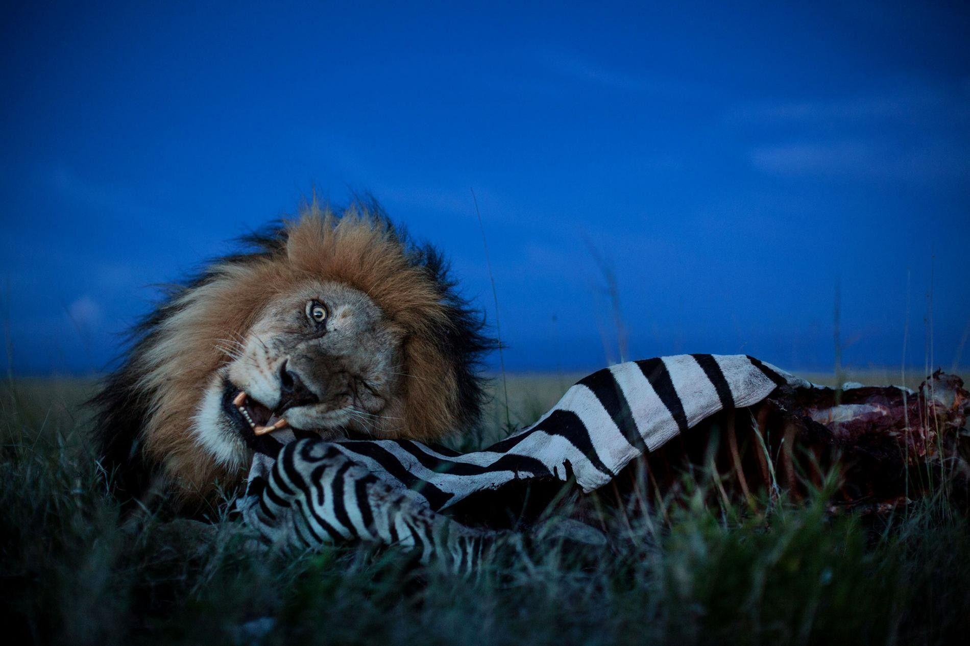 BEM MASTIGADO – Um grande leão devora a carcaça de uma zebra. Leões são carnívoros por obrigação, ou seja, precisam comer carne para sobreviver.