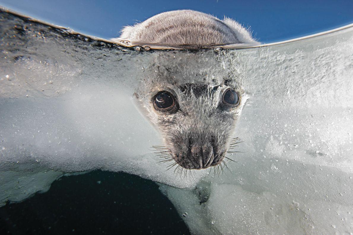 Arquipélago de Madalena, Canadá Filhotes de focas-da-groenlândia nascem no gelo e precisam de uma plataforma estável para ...