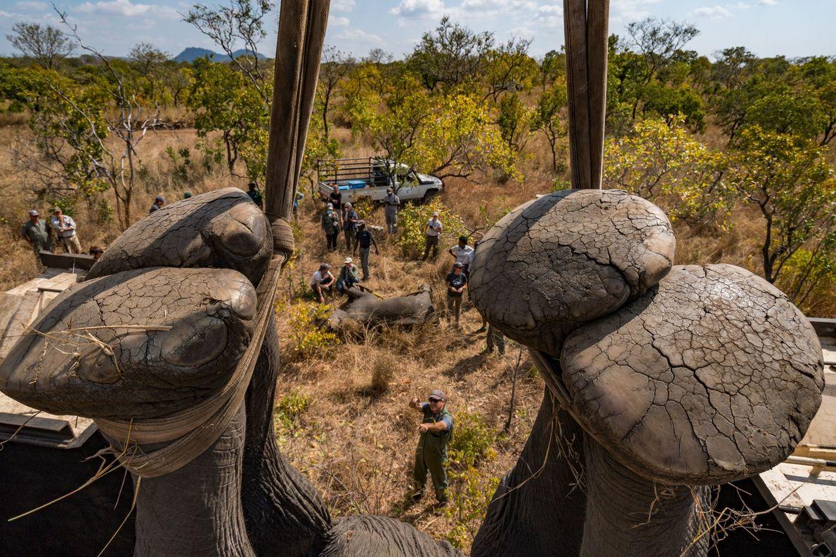 malaui-transporte-de-elefantes.