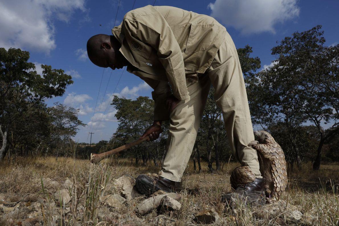 Tamuda pede atenção ao seu cuidador, que está ajudando a escavar formigas. O nome do cuidador ...