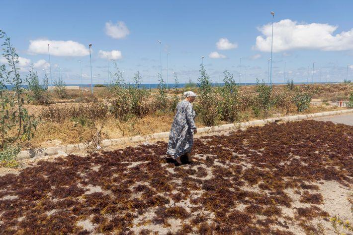 Em uma cena familiar ao longo da costa marroquina, uma mulher idosa espalha as algas marinhas ...