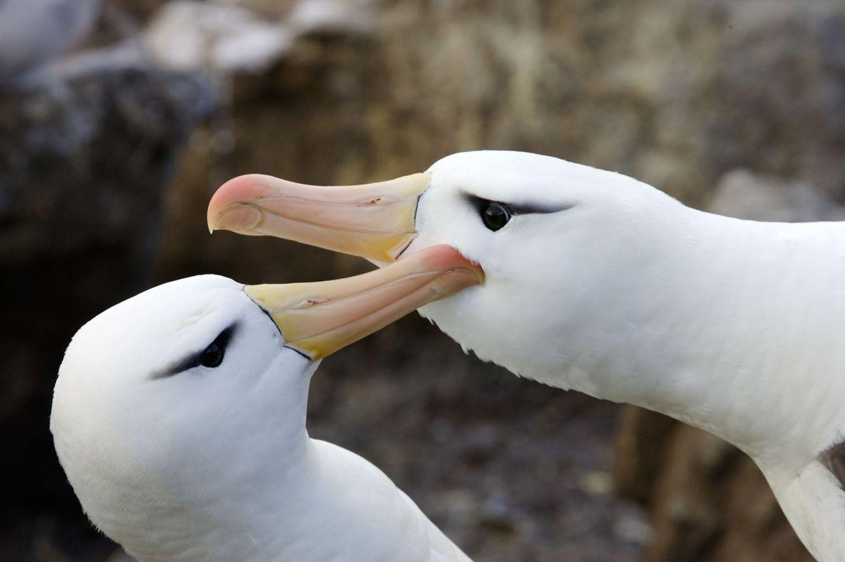 foto de albatrozes-de-testa-preta