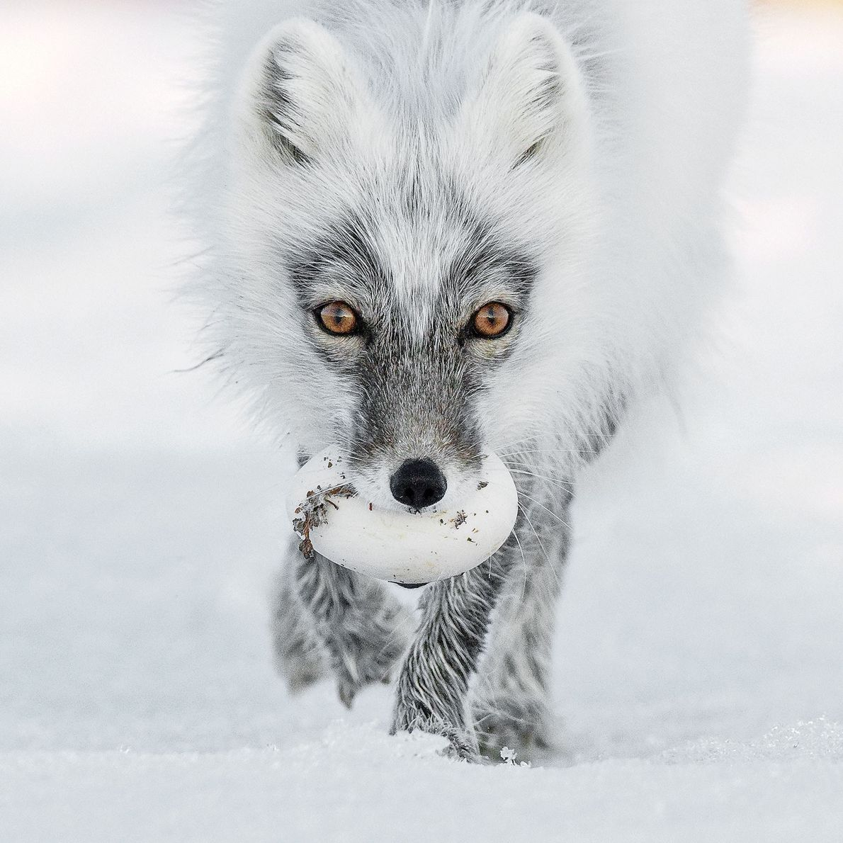 The artful dodgers of Wrangel Island, arctic foxes steal as many as 40 snow goose eggs ...
