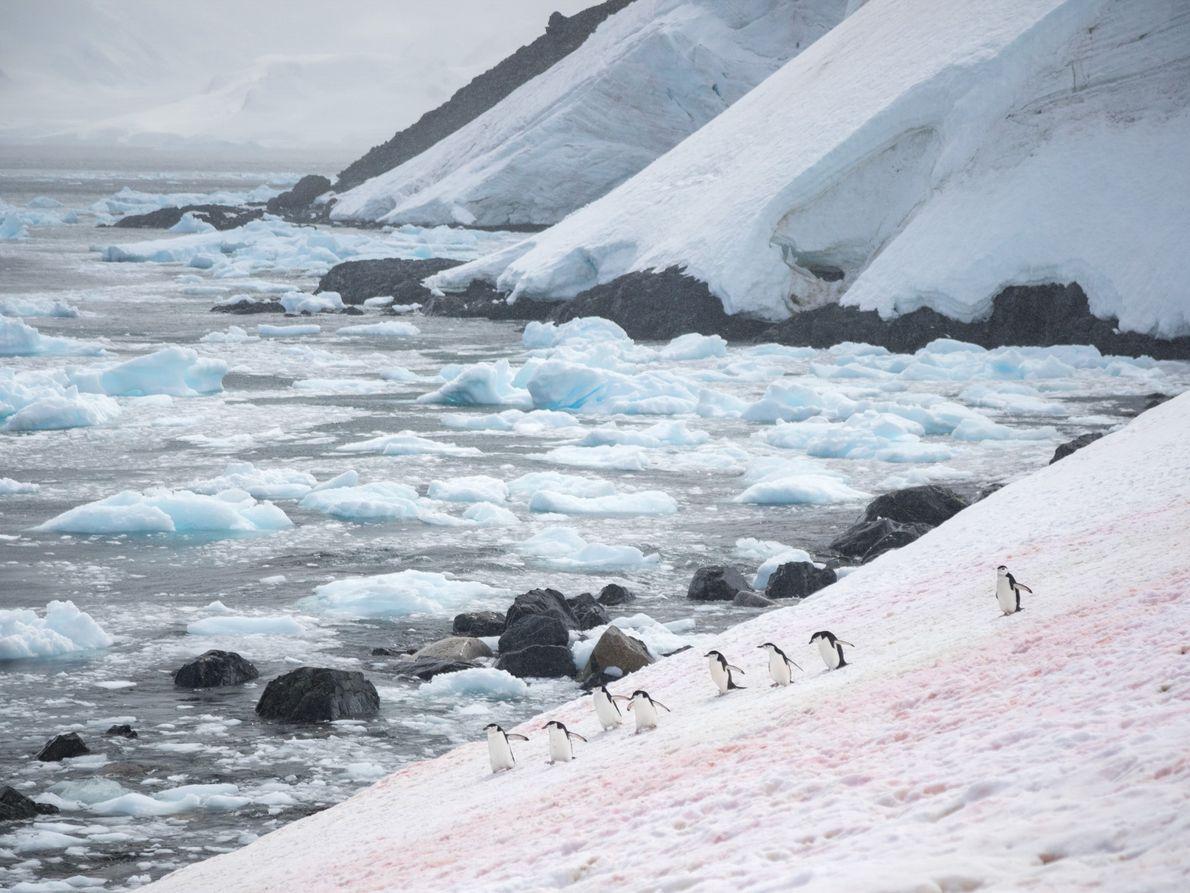Em um campo de neve levemente corado, pinguins-de-barbicha abrem caminho de e para seus ninhos na ...