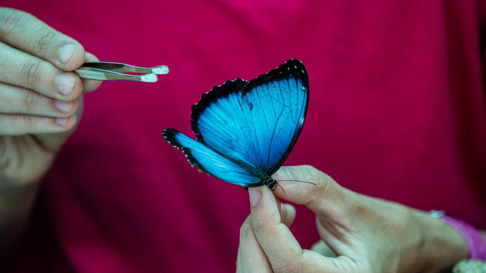Carolina Velez, uma entomologista da expedição, examina uma brilhante borboleta azul conhecida como Morpho helenor peleides.