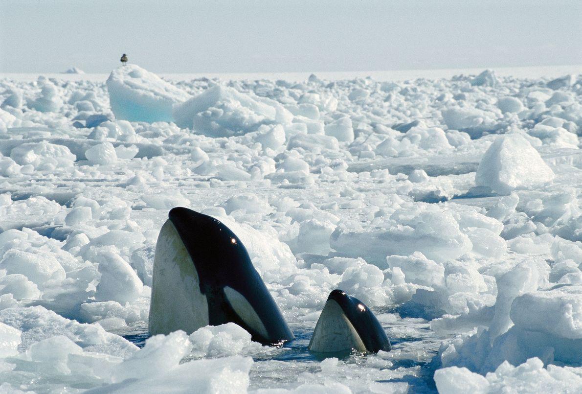 orca-baleia-assassina-antartida-galeria-de-fotos
