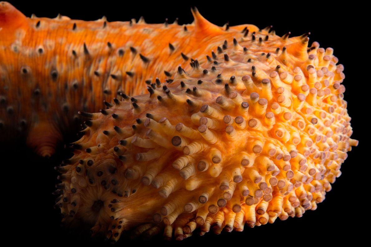 Pepino-do-mar verrugoso (Parastichopus parvimensis)