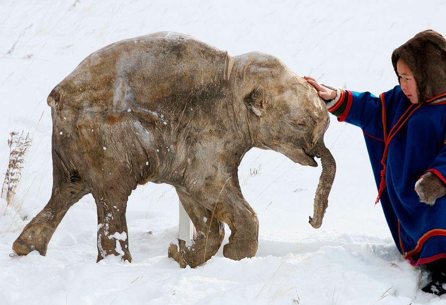 Congelado por 40.000 anos, este filhote de mamute foi descoberto em 2007 por pastores de renas ...