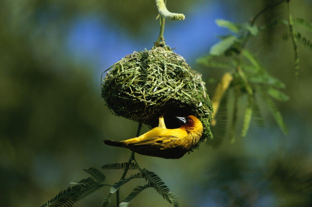 pássaro constrói ninho na Etiópia