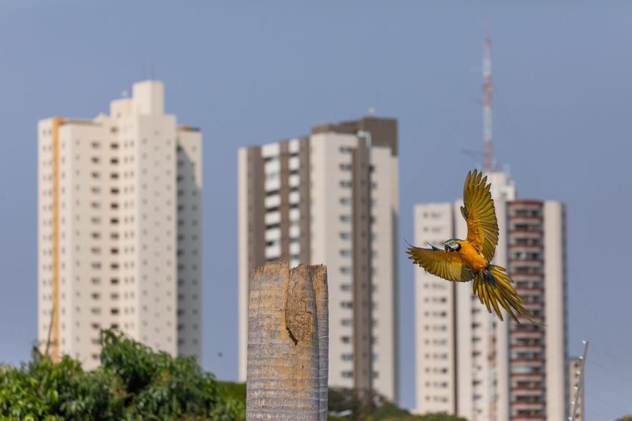 Arara-canindé chega ao seu ninho construído no tronco de uma palmeira imperial. Uma forte estiagem em ...
