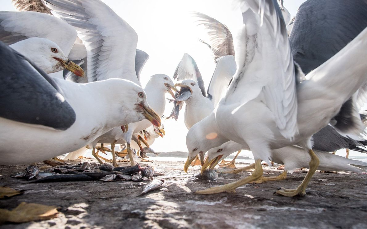 galeria-de-fotos-animais-em-acao-gaivotas-brigam