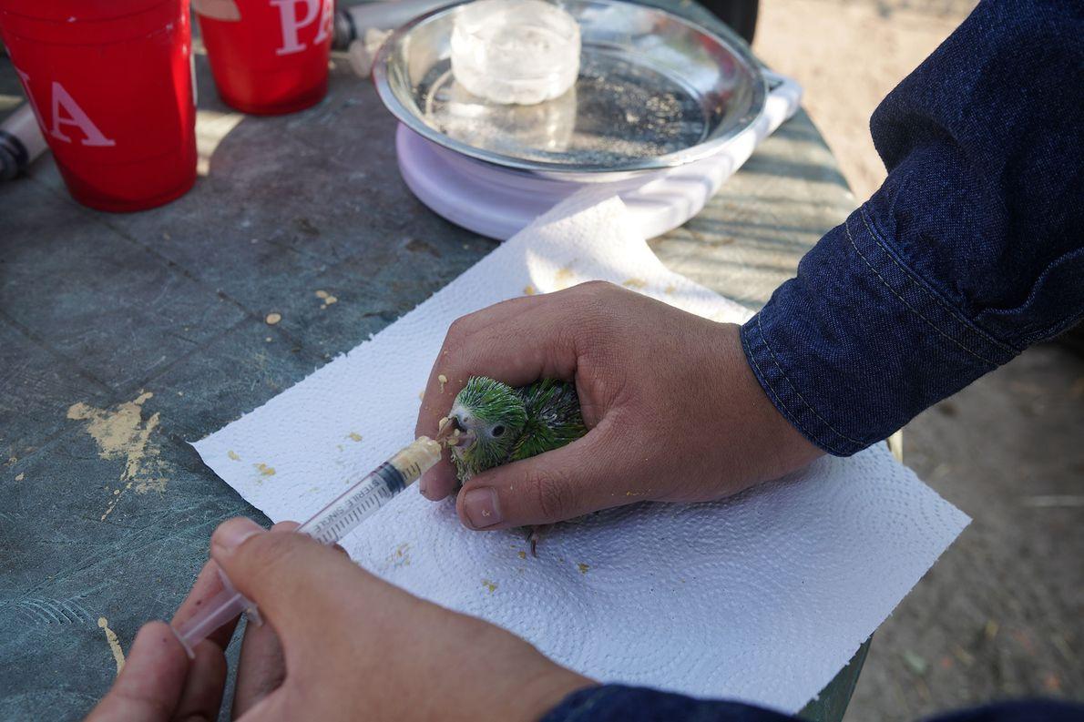 Um voluntário alimenta um pequeno periquito. Voluntários da Universidade Santa Cruz e um parque local de ...