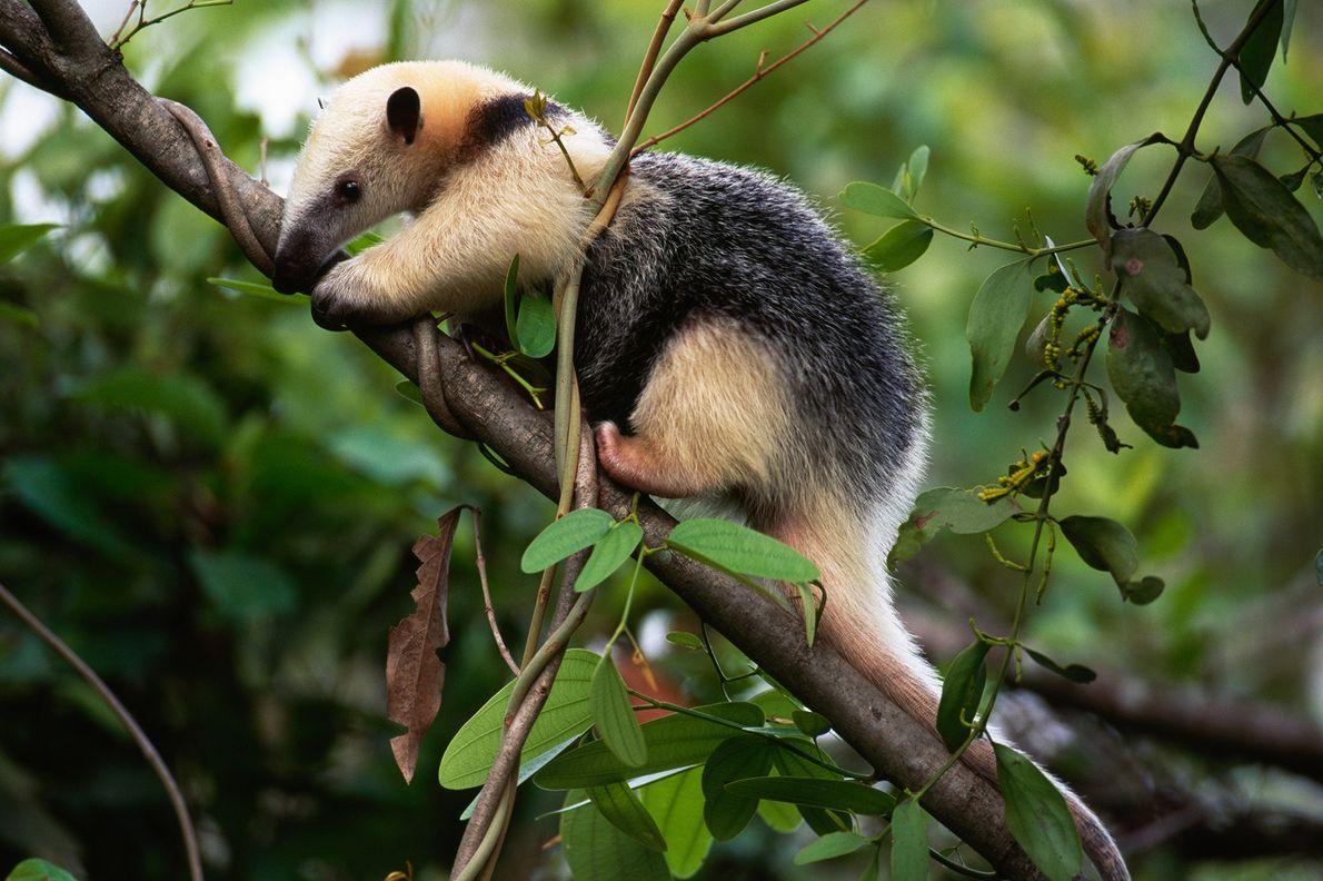 Um tamanduá-mirim escala um galho e uma árvore em busca de insetos. Pantanal, Brasil.