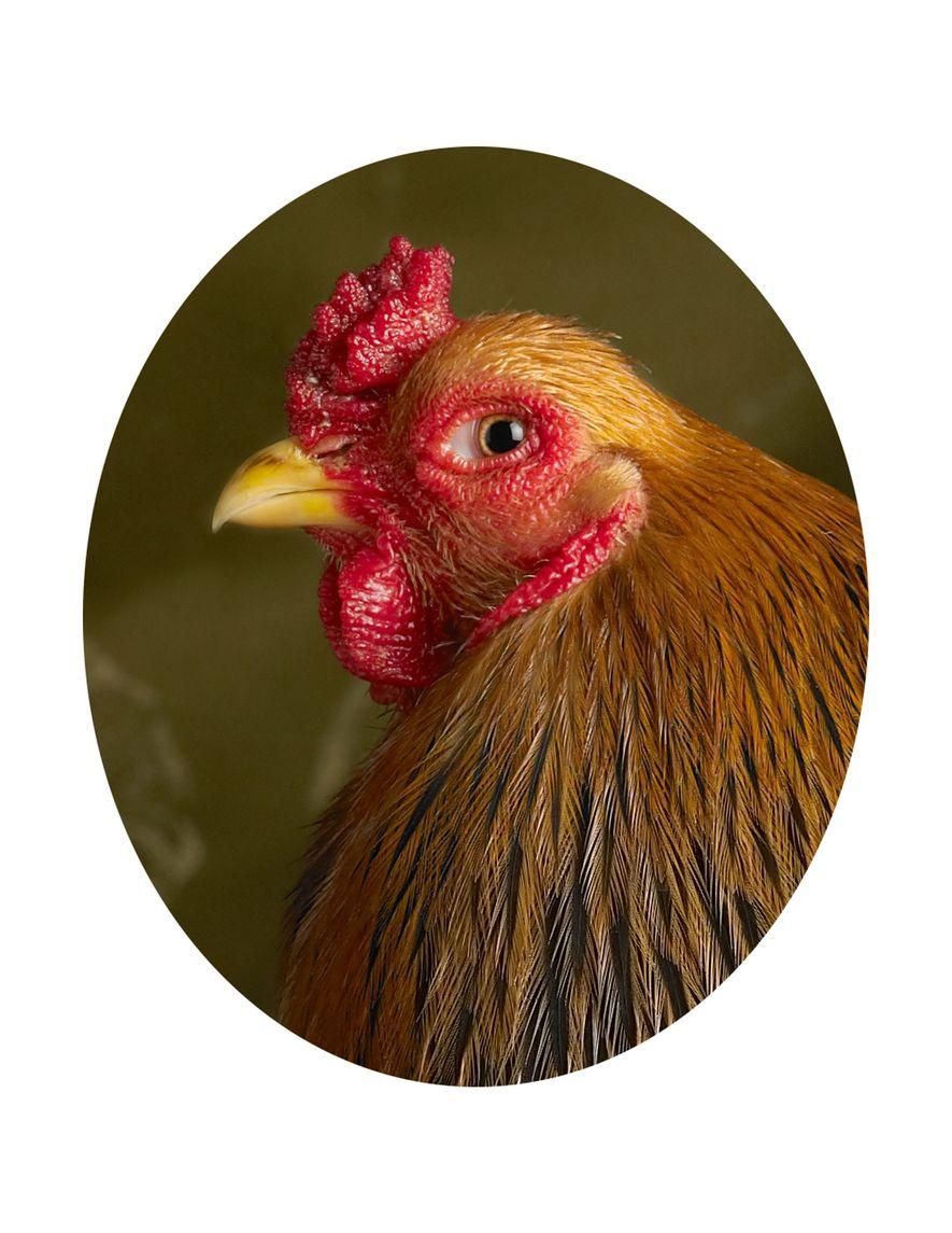 galinhas-galo-retratos-raca-brahma