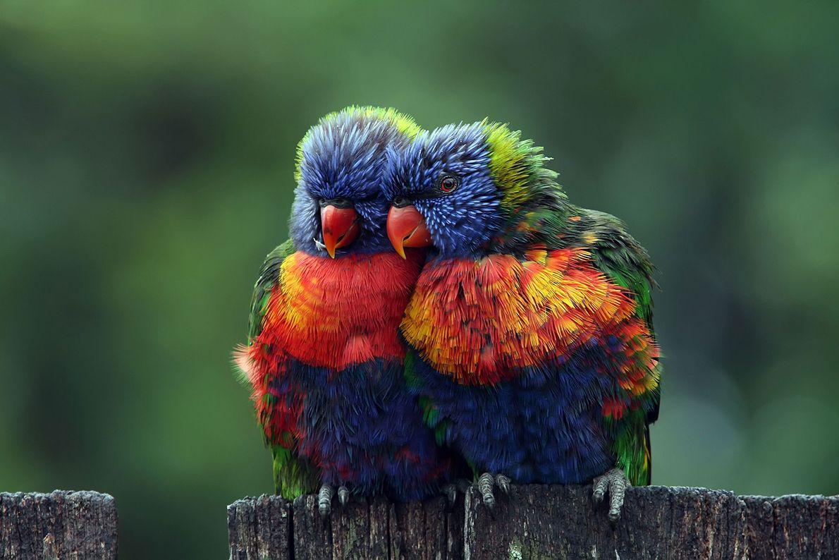 Loris-arco-íris