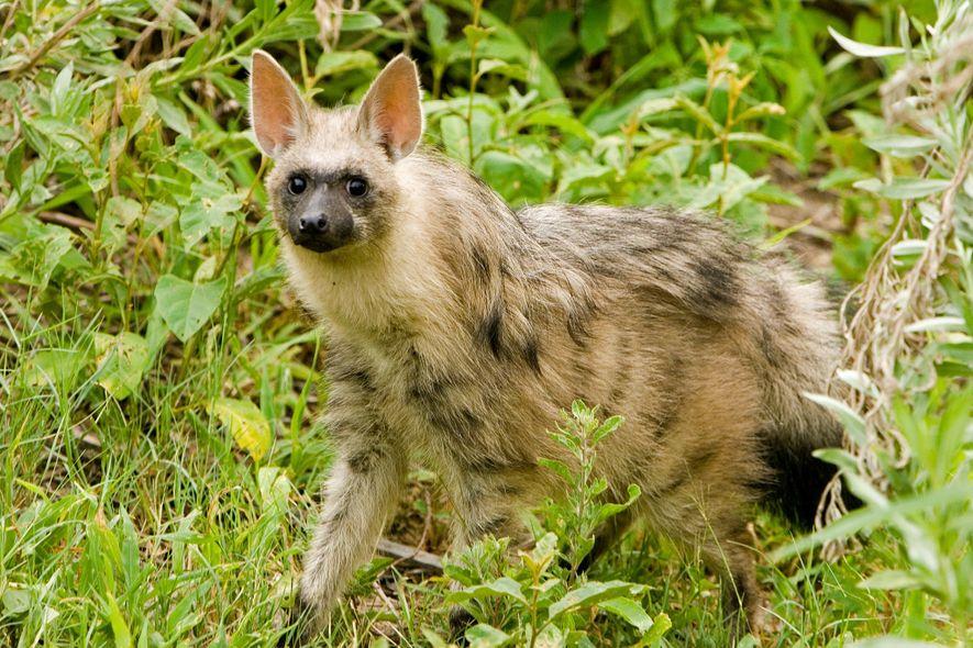 Uma hiena-riscada caminha pelo Delta de Okavango em Botsuana. A espécie é classificada como quase ameaçada.