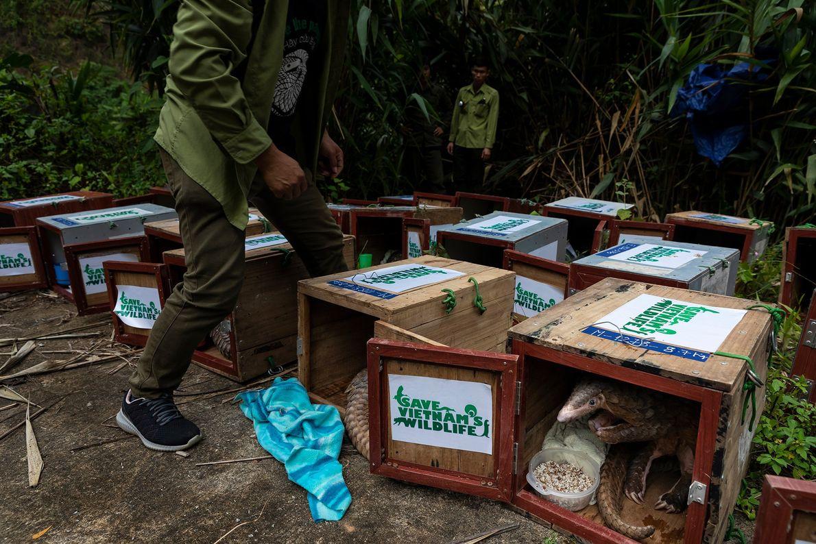 Estes pangolins, resgatados pela Save Vietnam's Wildlife, recebem uma última refeição antes de serem soltos de ...