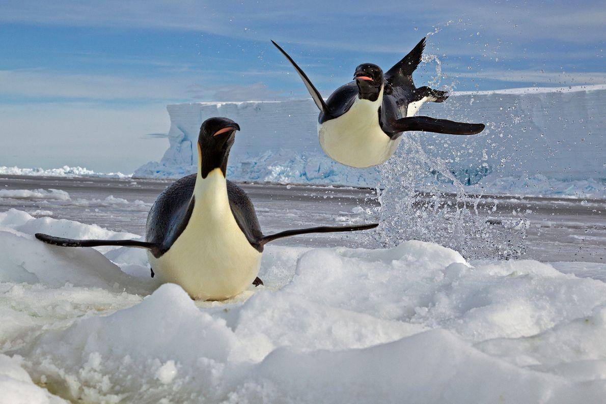 Um pinguim-imperador aterrissa sobre um bloco de gelo no Mar de Ross, no oceano Antártico. Os ...