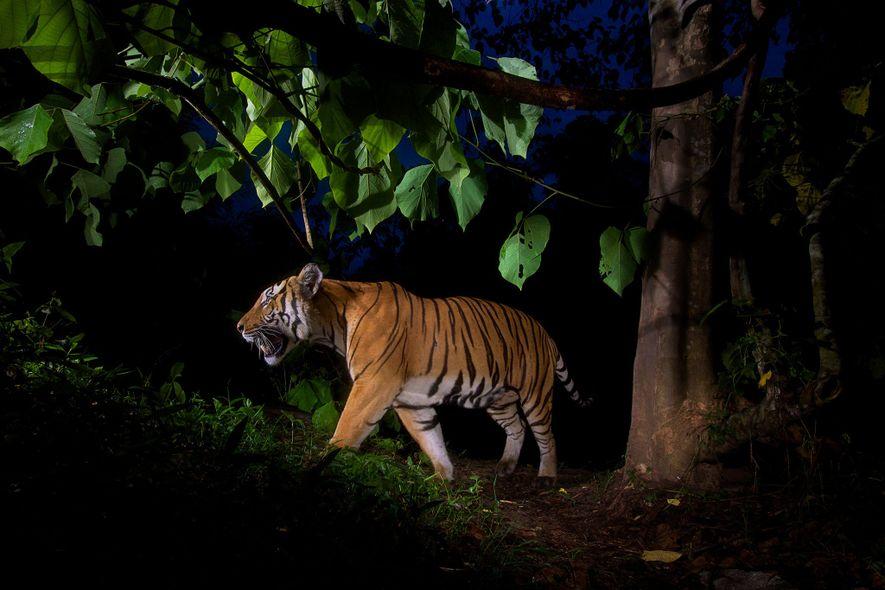 Uma armadilha fotográfica registrou este tigre em um santuário da vida selvagem na Tailândia. No Vietnã ...