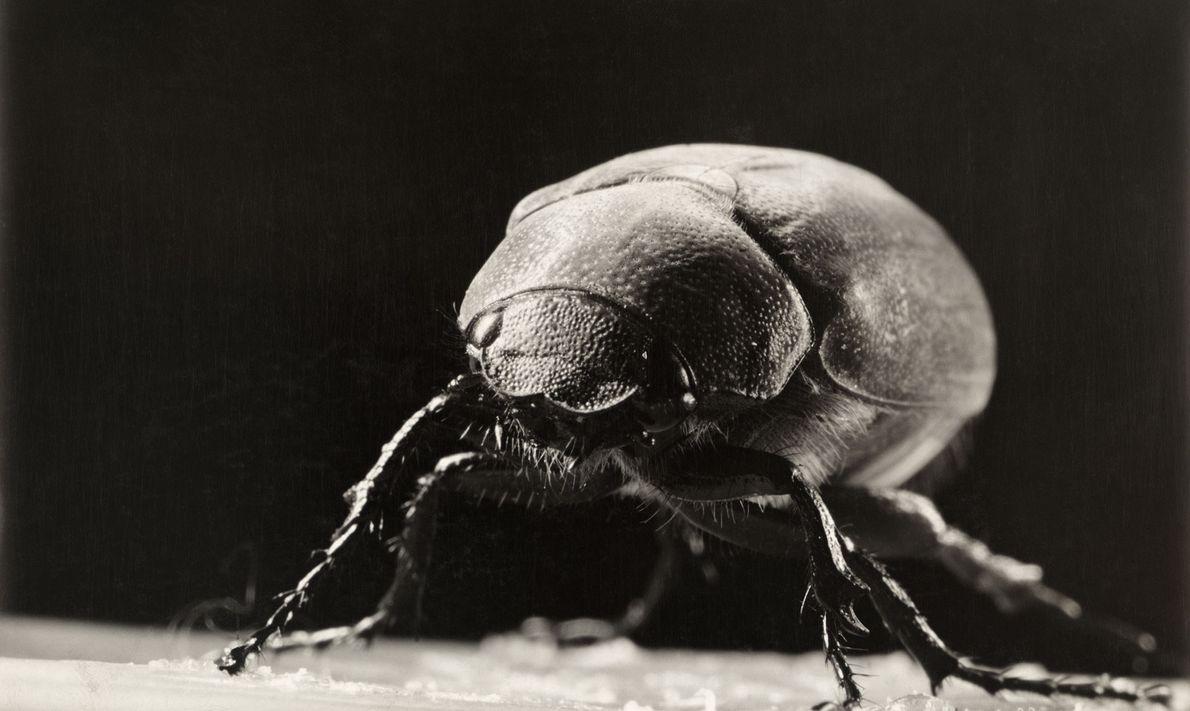 Há mais de 200 espécies de besouros-de-junho. Os insetos surgem no início do verão, quando são ...