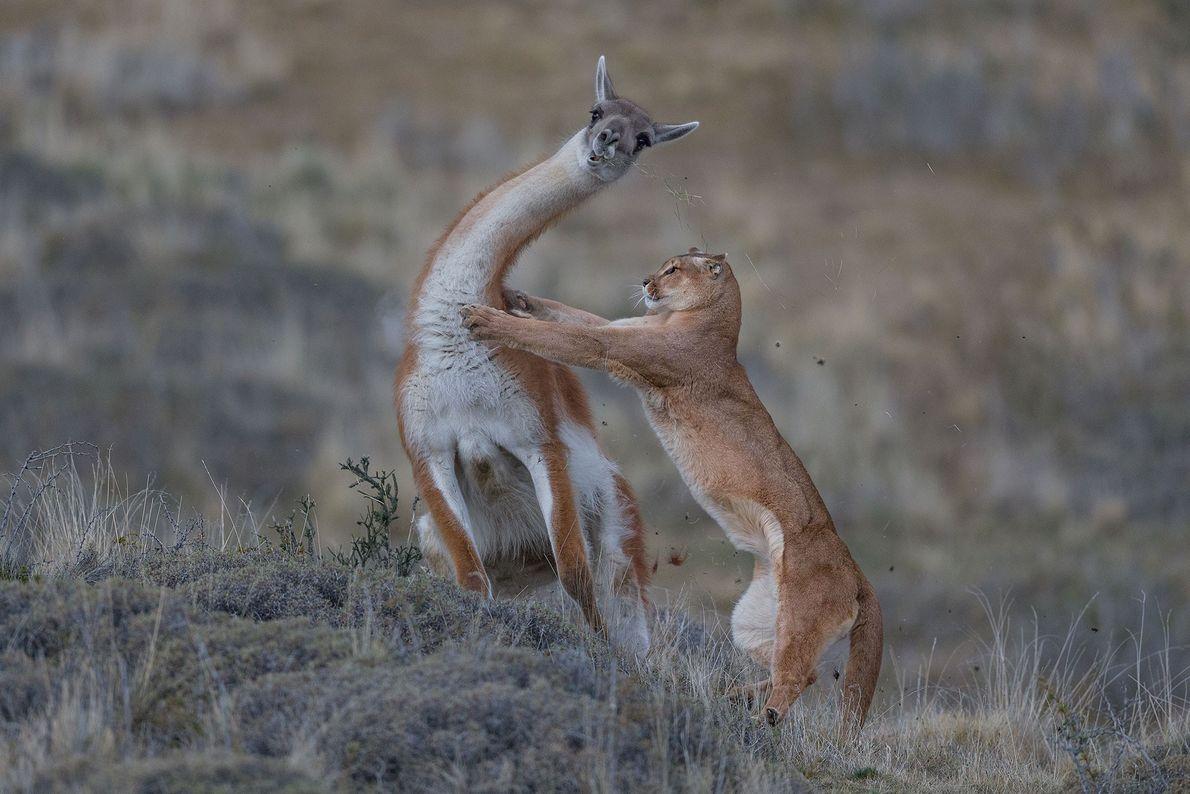 Com esta imagem de um puma tentando derrubar um guanaco, feita para a edição de dezembro ...