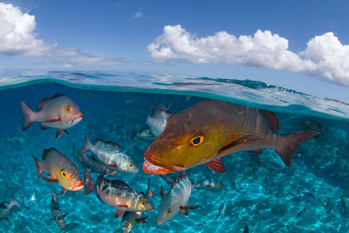 """Snappers seen underwater near Seychelles Islands. Peschak's images were featured in """"In the Seychelles, Taking Aim ..."""