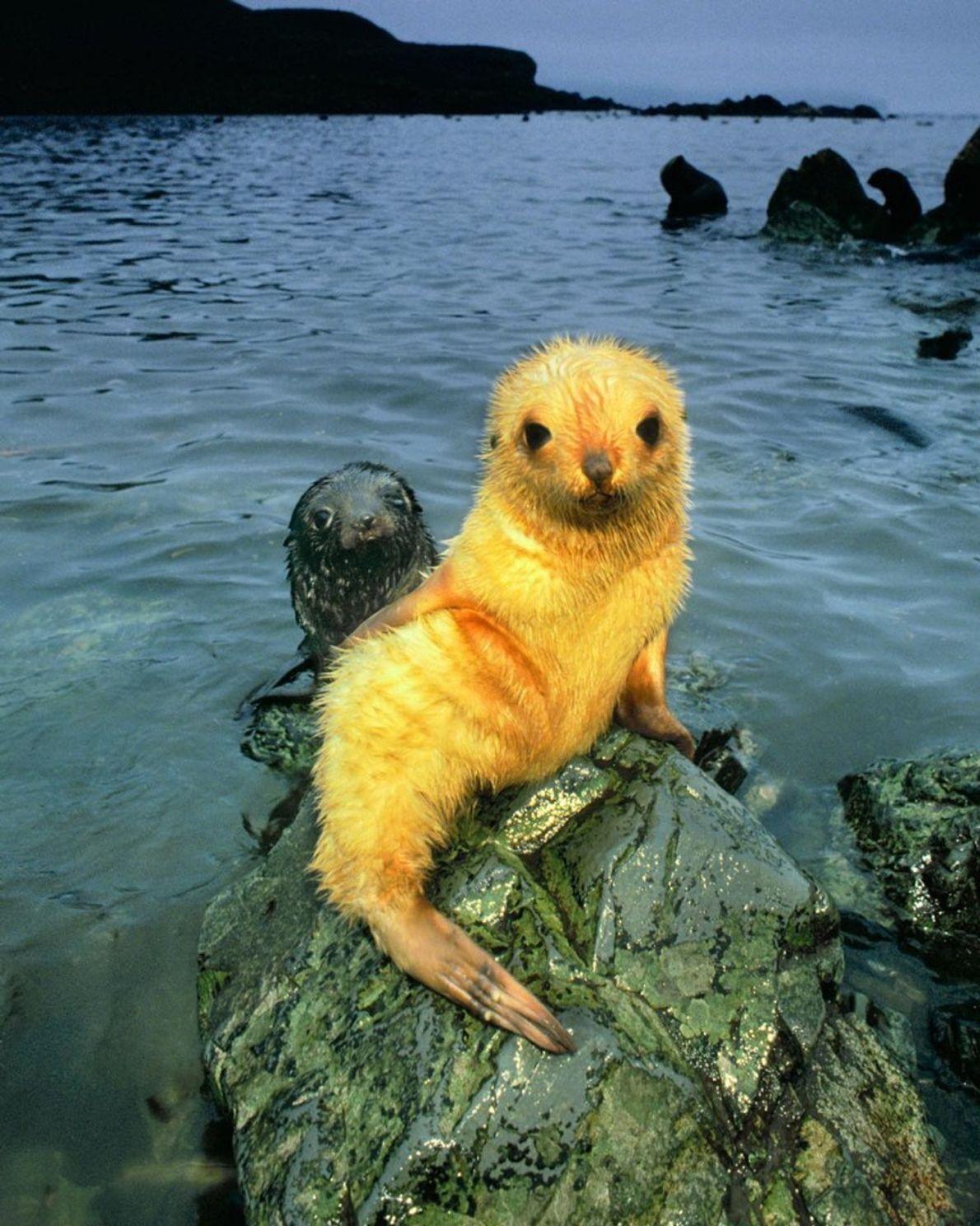 """""""Focas albinas são raras dentre as centenas de milhares de focas pretas que nascem nas praias ..."""
