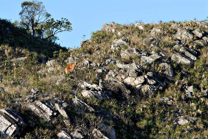 Lobo-guará em trecho de campo rupestre na Serra da Canastra, ecossistema muito favorável para a presença ...