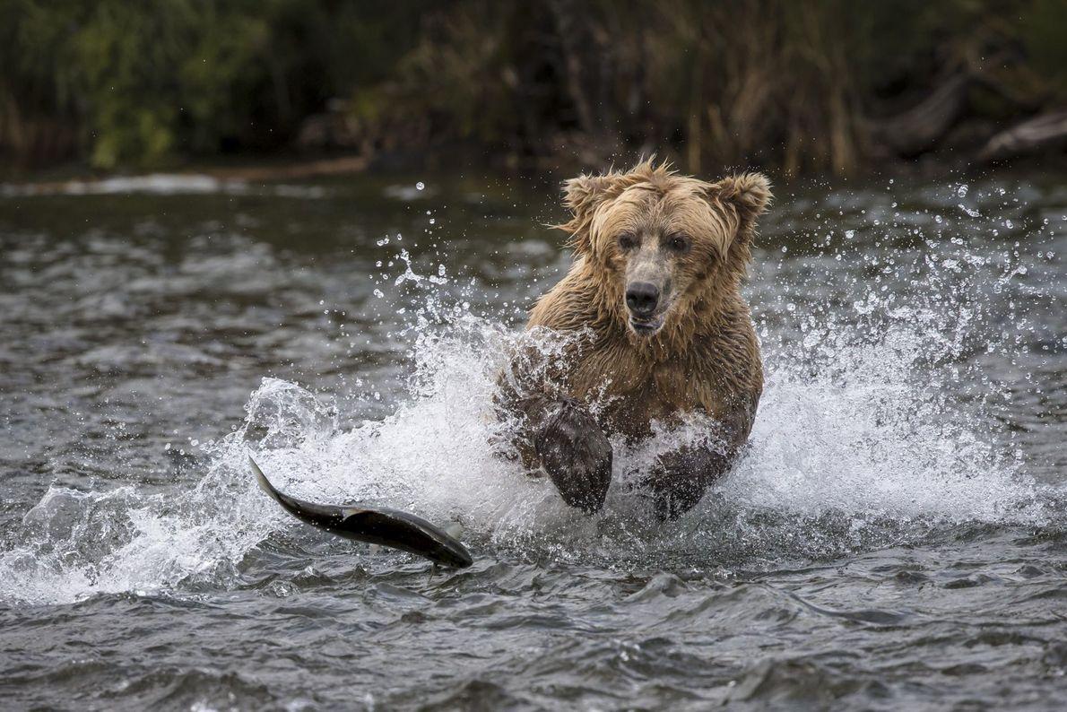galeria-de-fotos-animais-em-acao-urso-peixe