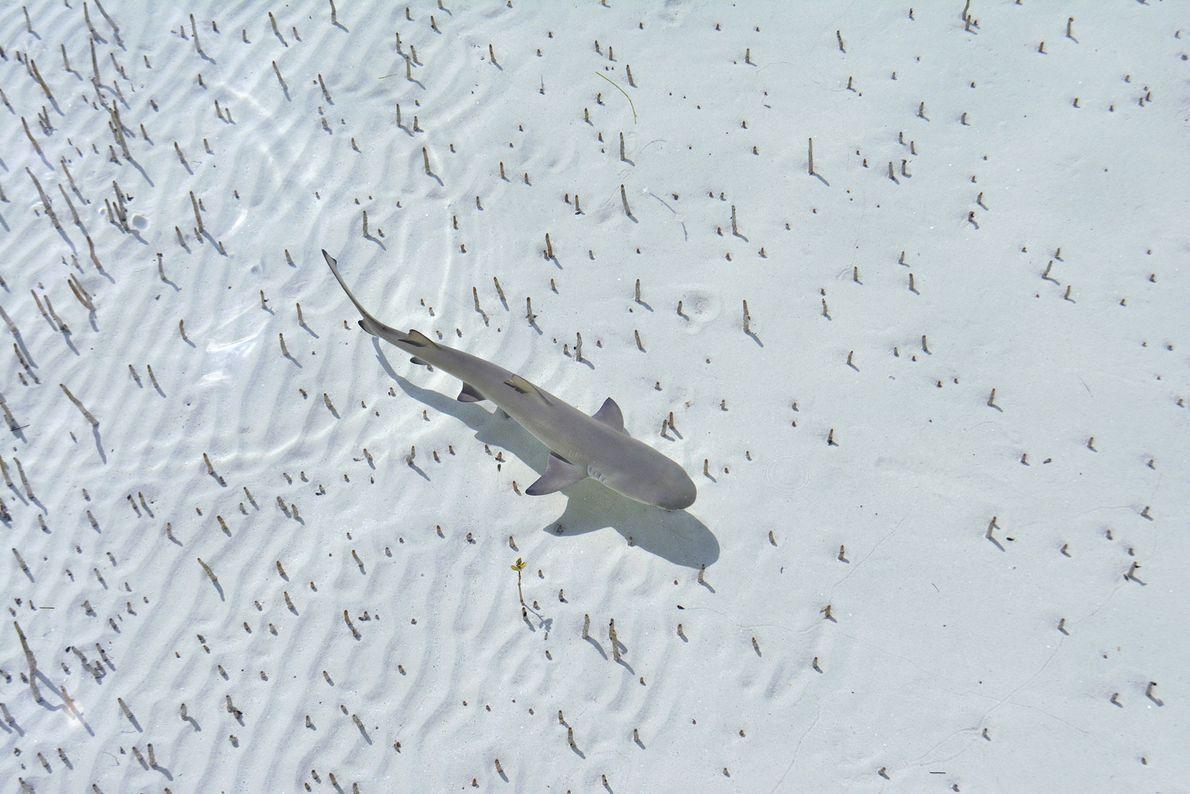 Tubarão-limão Negaprion brevirostris