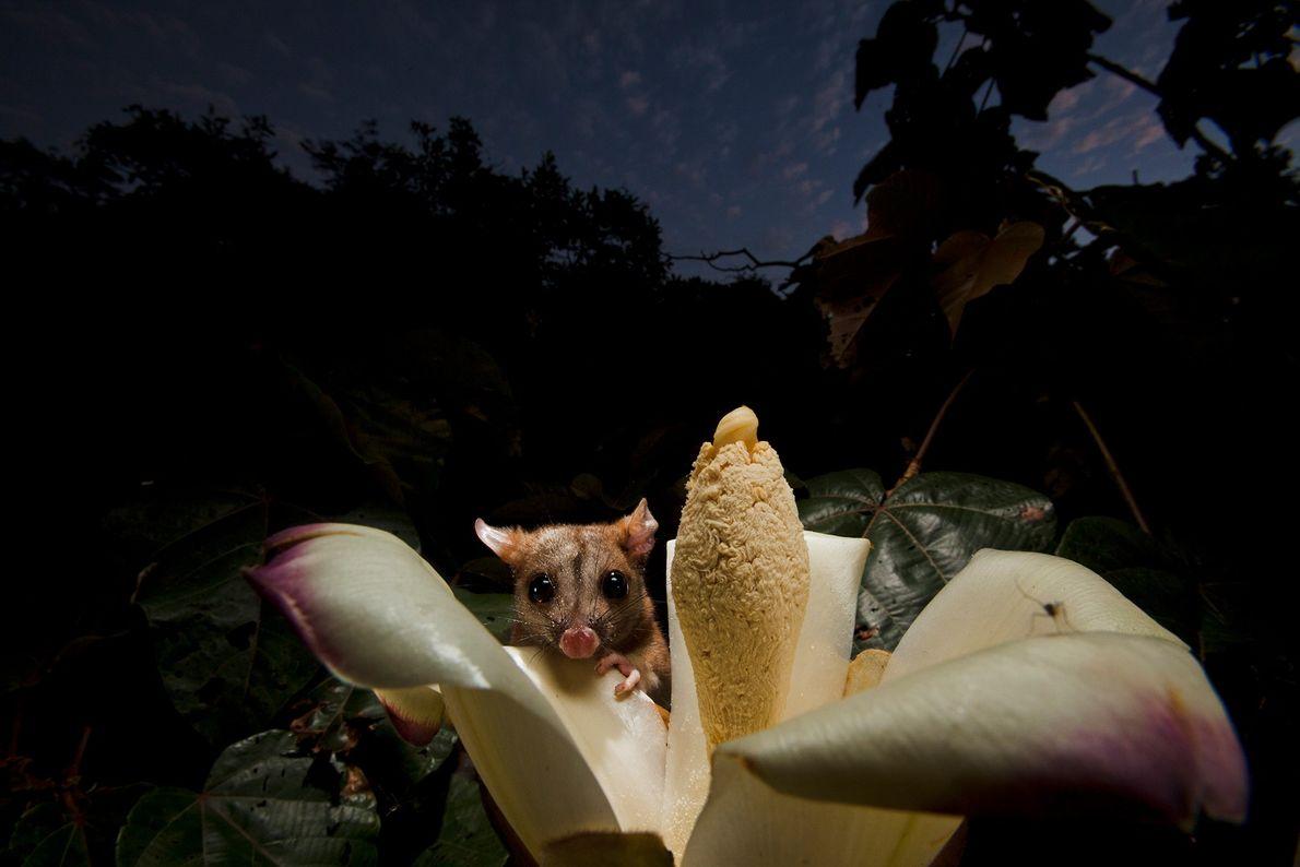 Um gambá do gênero Caluromys bebe o néctar de uma flor de Oroma. Panamá.