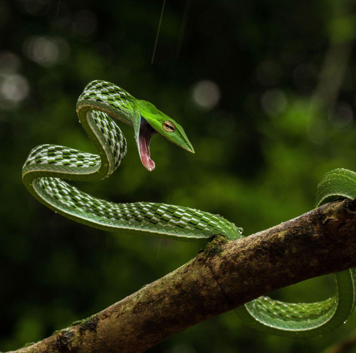 Green vine snake. Shimoga, Karnataka, India
