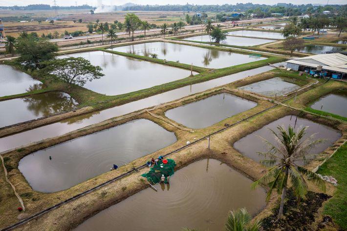 As barbelas gigantes e juvenis da administração pesqueira estão crescendo nesses tanques na estação de campo ...