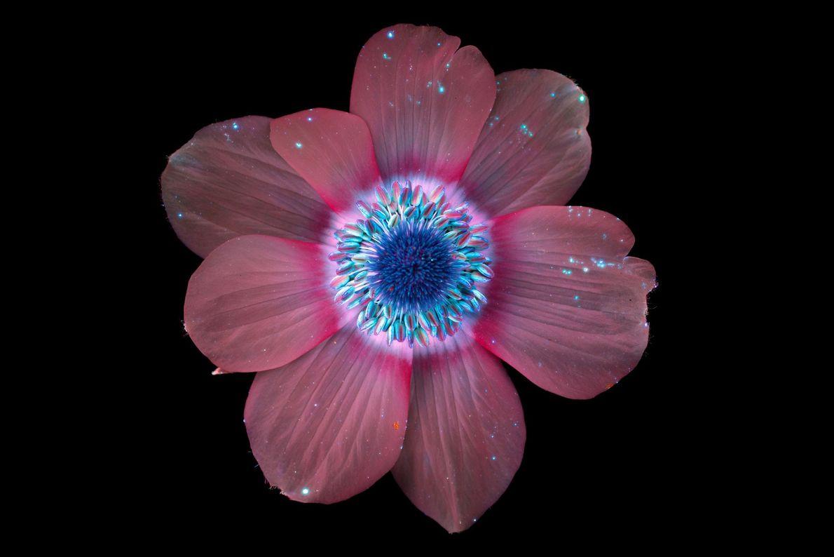 brilho-invisivel-das-flores-luz-ultravioleta-anêmona