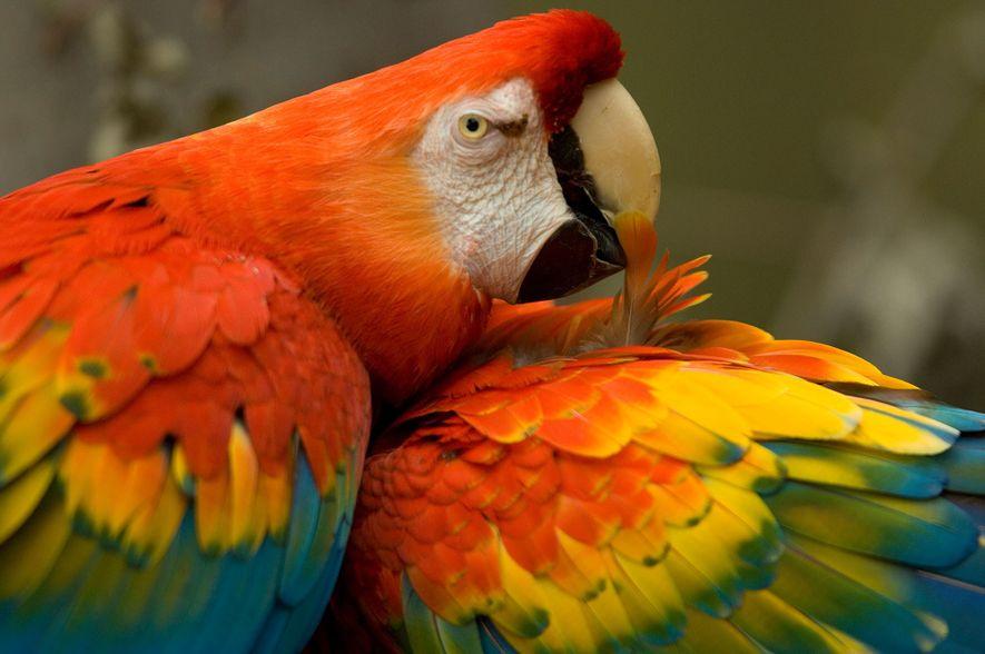 DNA revela que os povos nativos mais antigos da América importavam papagaios exóticos