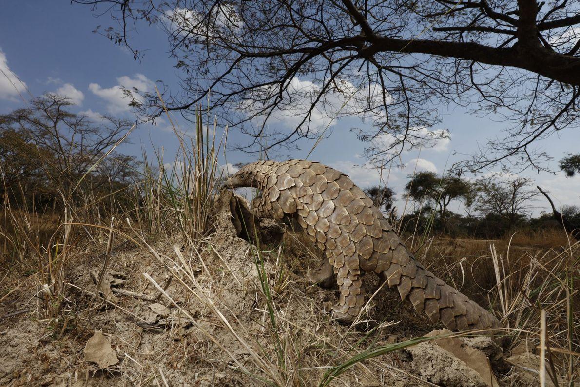 Um pangolim escala um monte de terra, na tentativa de descobrir se está cheio de formigas.