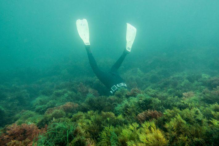 Ibrahim Morsli vasculha a parte inferior das algas marinhas em busca de pepinos-do-mar. Em seis horas, ...