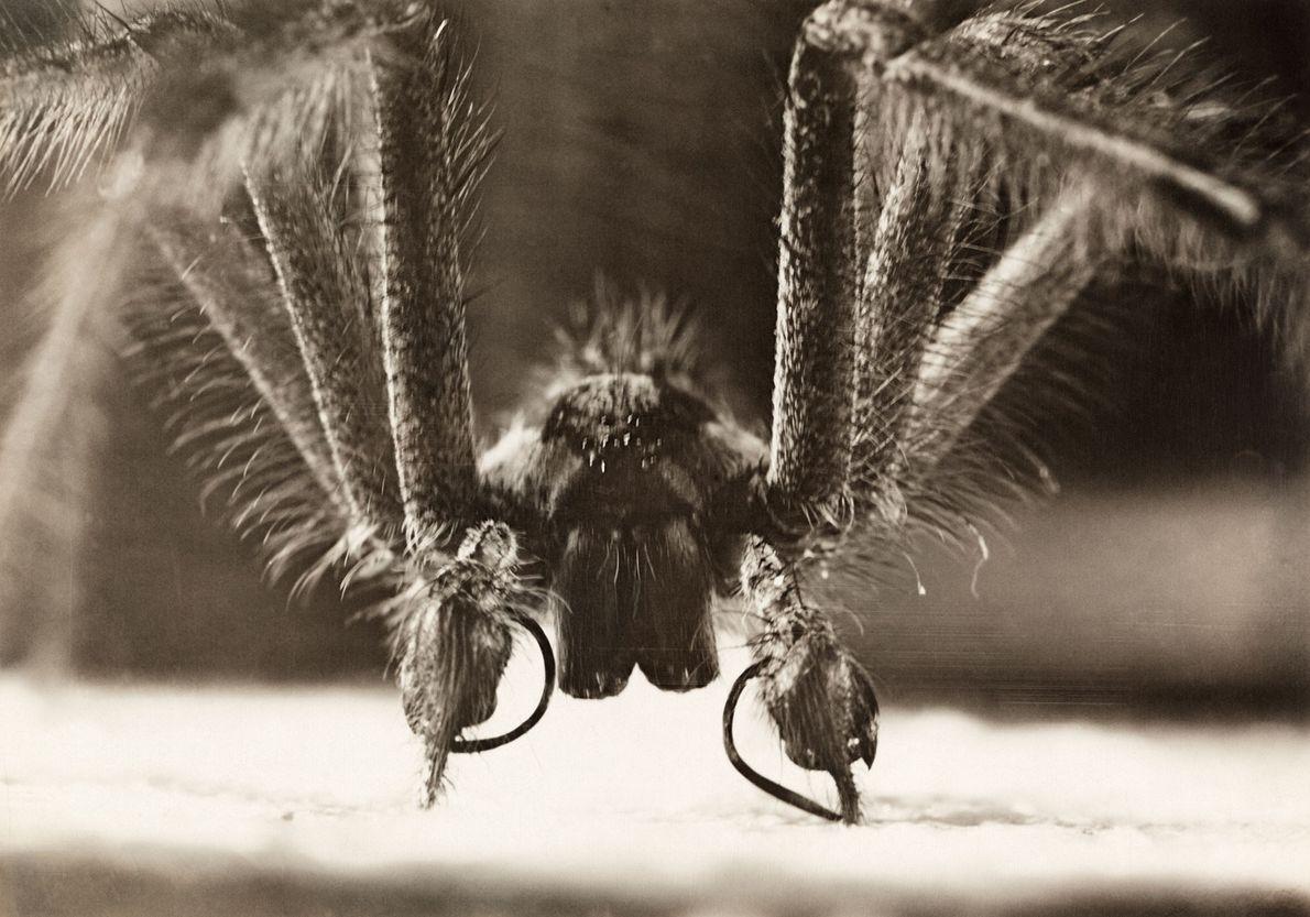 Quase todas as aranhas têm veneno, mas seu propósito é picar ou matar suas presas. Das ...