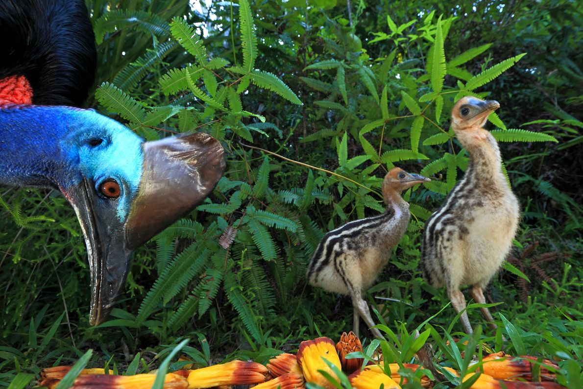 A cassowary dad and two six-week-old chicks feeding on Pandanus fruit in Australia. Ziegler's images were ...
