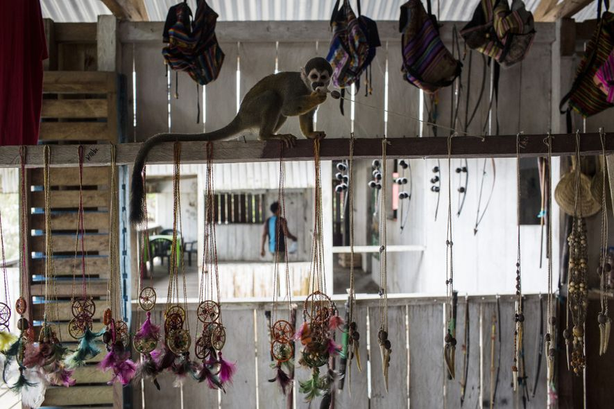 Macacos-esquilo brincam com um colar em loja de Puerto Alegría. Enquanto animais em cativeiro são o ...