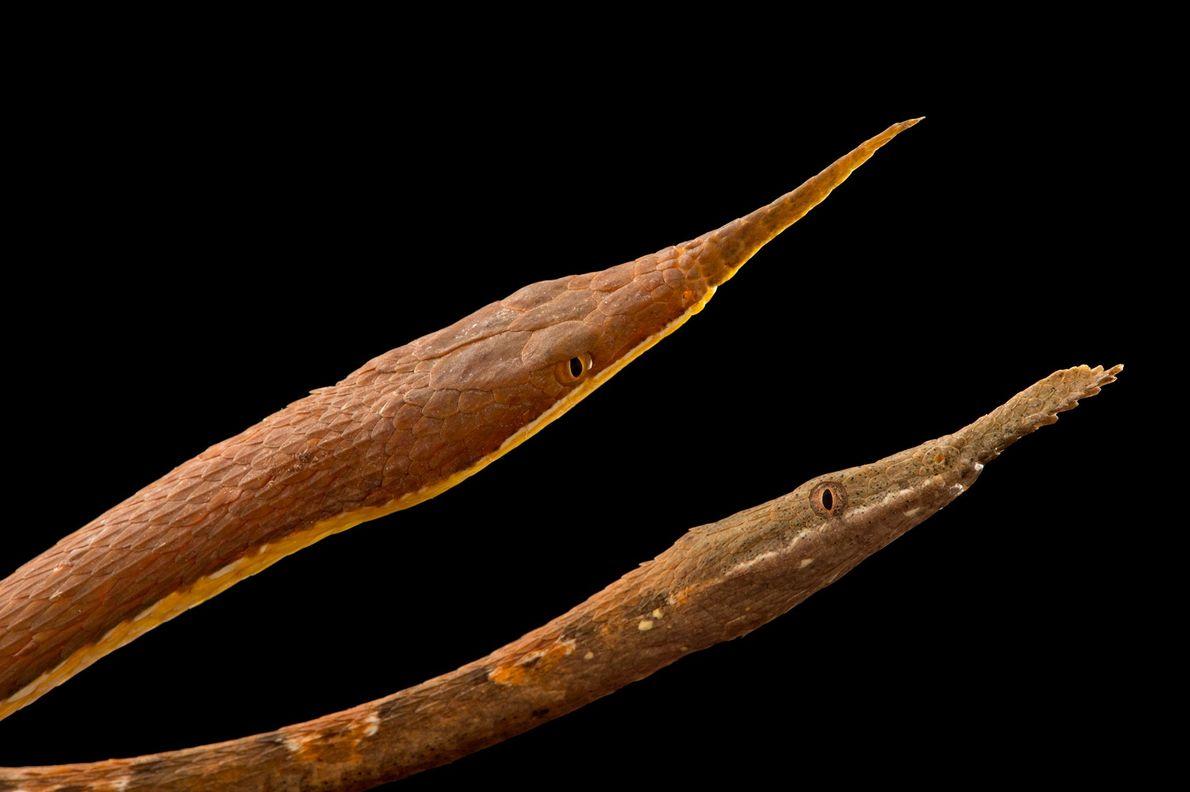 especies-de-cobra