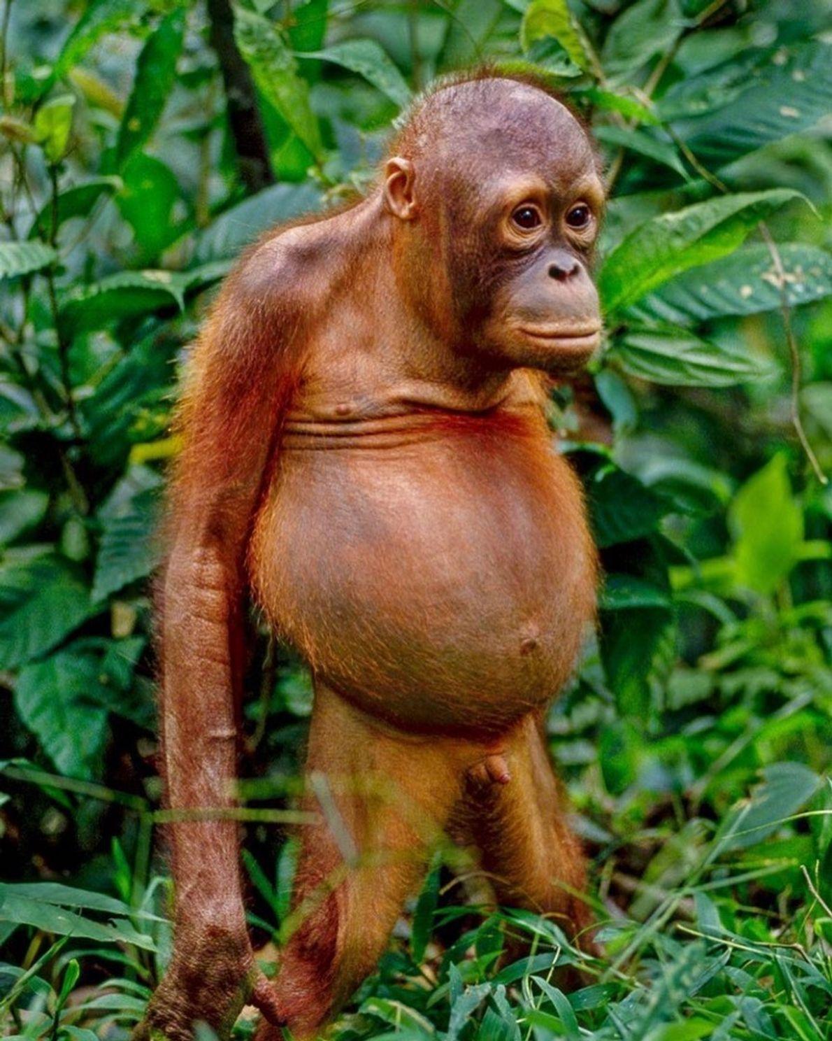"""""""Quando um jovem orangotango fica ereto em uma clareira na floresta, fica fácil apreciar suas similaridades ..."""