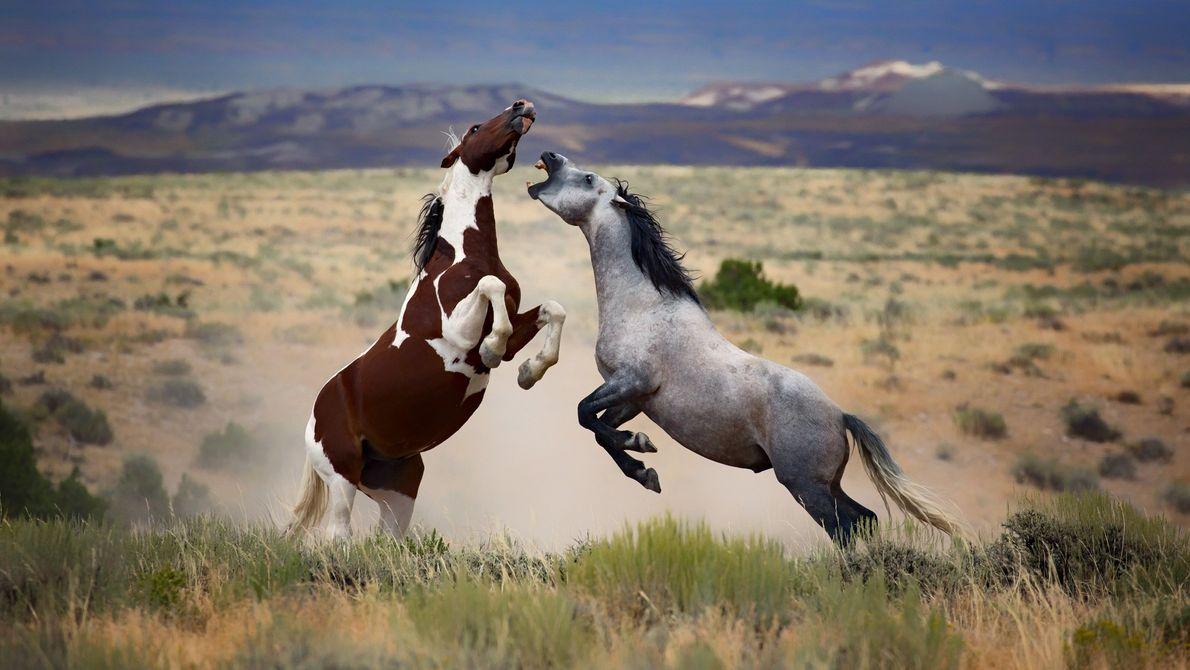 galeria-de-fotos-animais-em-acao-cavalos-selvagens