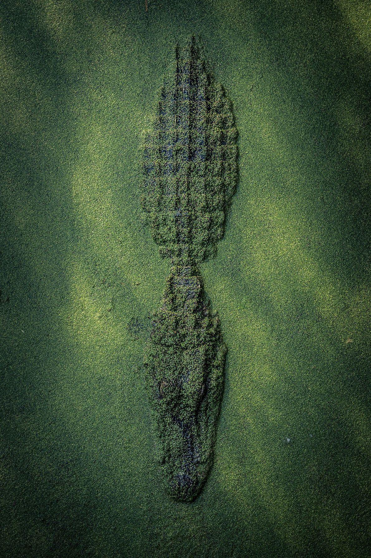 Aligátor alligator
